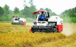 Vietnam's rice exports: the world's second largest exporter still unstable