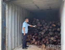 Hai Phong Customs prosecutes smuggling case of red sandalwood
