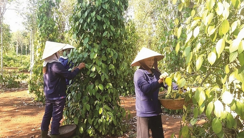 Most pepper exporters register exported pepper as a agricultural product