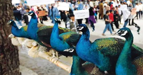 Customs confiscates 8 kg of peacock feathers in Delhi