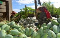 Green mango exports to Australia witness surge in first half