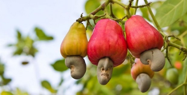 Vietnamese cashew nuts occupy nearly 90 percent of US market share hinh anh 1