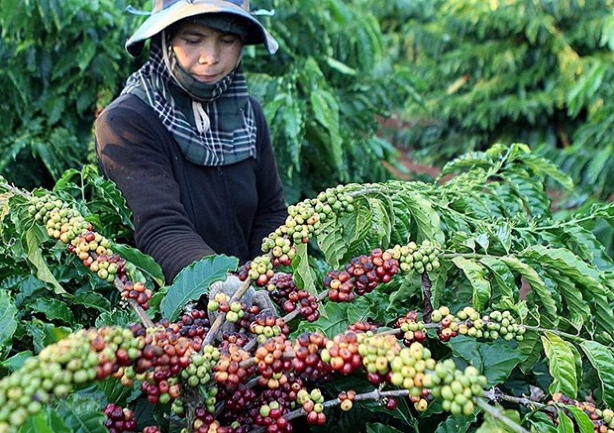 Coffee is often purchased by Russian tourists as souvenirs (Photo: congthuong.vn)