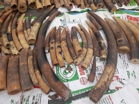 Hai Phong: More than 18 tonnes of ivory and pangolin scales seized in five years