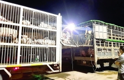 Two businesses intentionally consumed tens of billions of VND of imported pigs without a quarantine