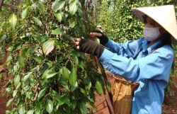 Pepper exporters face the risk of losing market share because of logistics costs