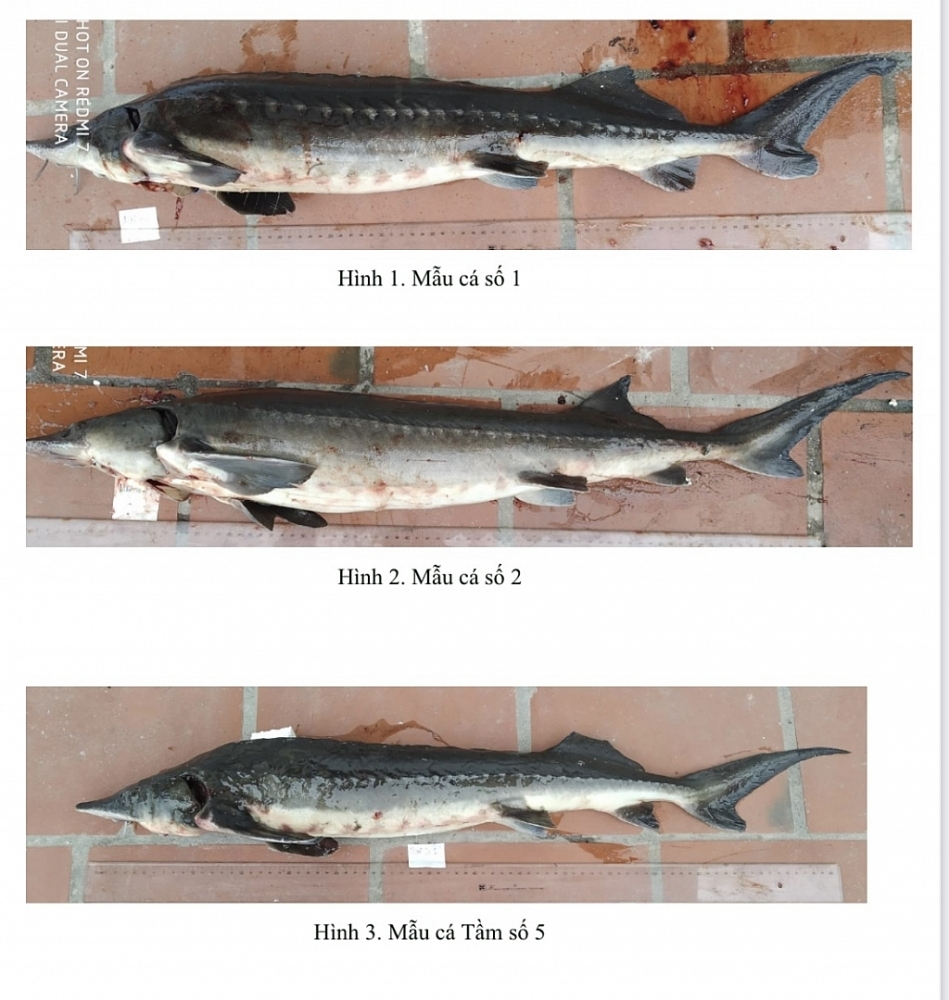 Imported sturgeon plunges